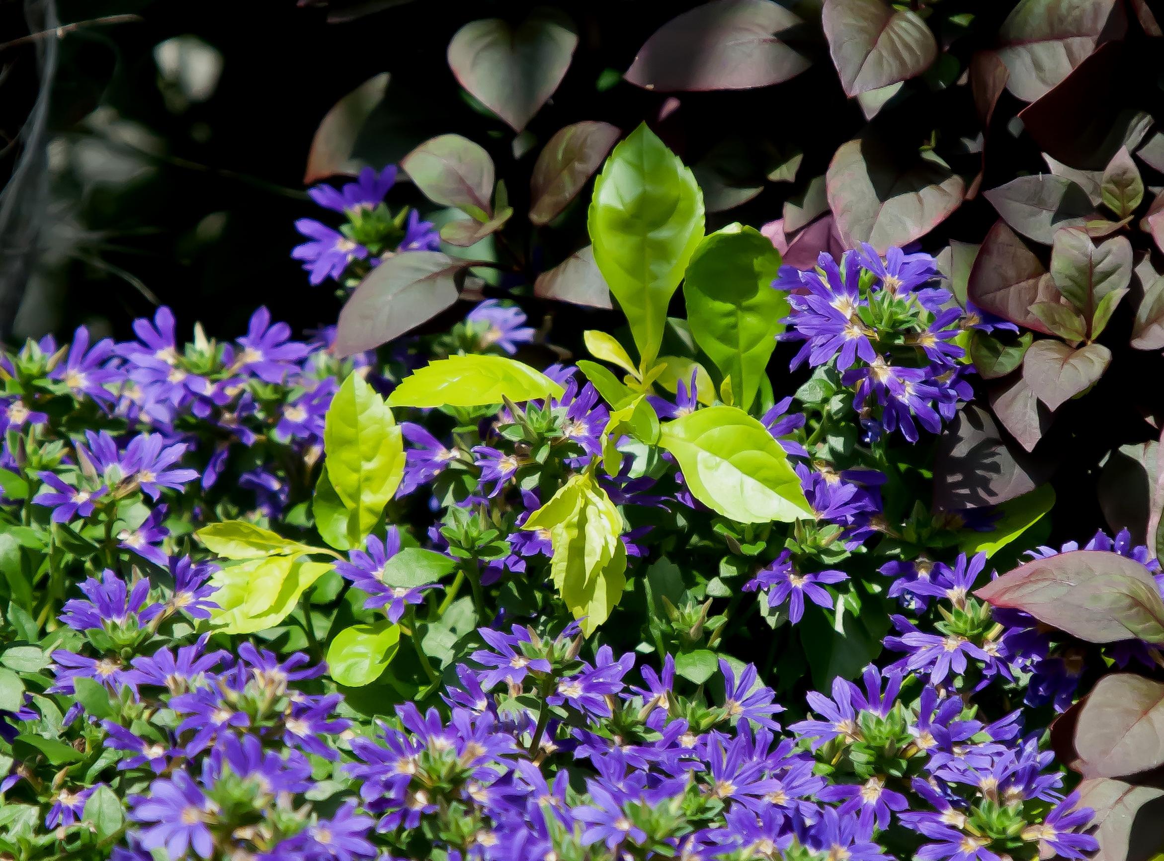 'Surdiva Blue Violet' scaevola combines wonderfully with foliage like 'Little Ruby' alternanthera and 'Gold Mound' duranta.