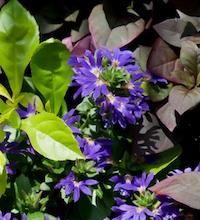 'Surdiva Blue Violet' scaevola combines wonderfully with foliage like 'Little Ruby' alternanthera and 'Gold Mound' duranta.