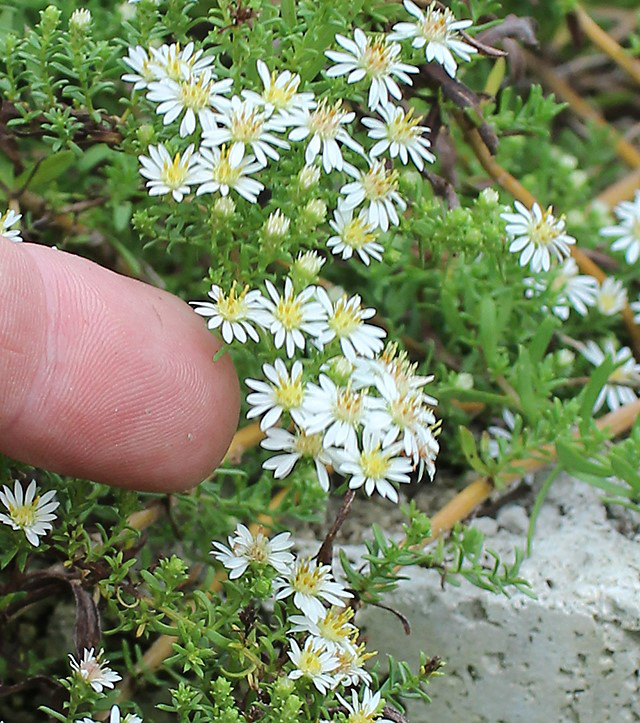 "As part of UGA Extension's Pollinator Census Project, school and community gardeners planted ""Snow Flurry"" asters — a native ground cover — to attract pollinators. They will keep track of how many visitors the plants attract."