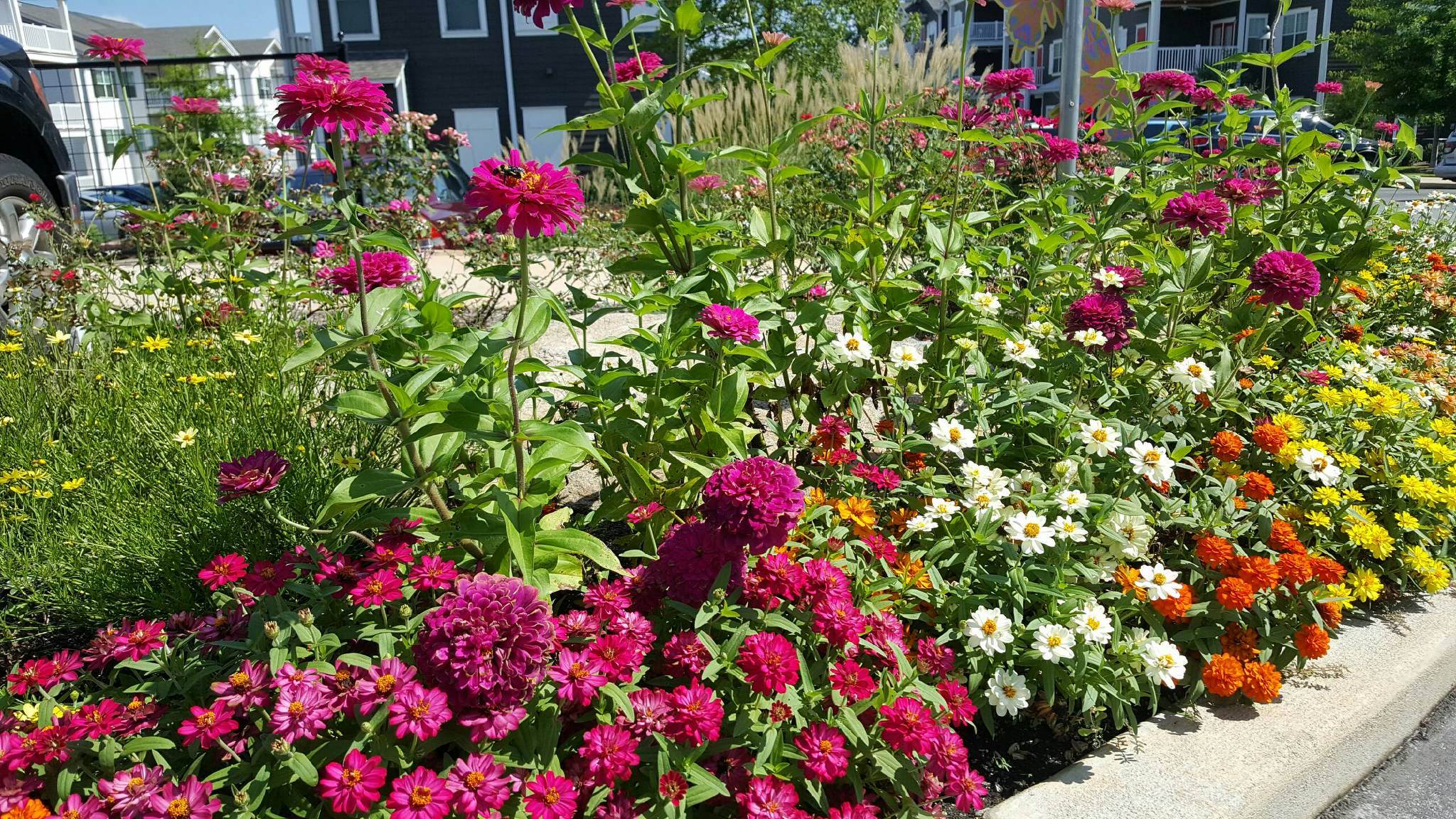 In the landscape, Uproar zinnias work in a cottage setting, pollinator garden and simply as a taller form of intense rose mixed in a living bouquet of mixed colors. Uproar zinnias also excel artistically in designer containers too.