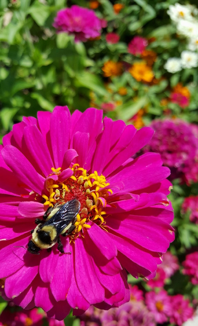 Uproar Rose zinnia and bee