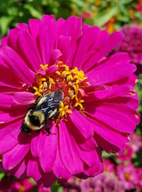 Unlike its shorter cousins, Uproar Rose zinnia will provide a bounty of blossoms all summer.They are large dahlia-like blooms borne on 30-inch stems. And, they also show a good level of powdery mildew resistance when spaced as recommended.