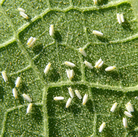 Whiteflies seen on a squash leaf.