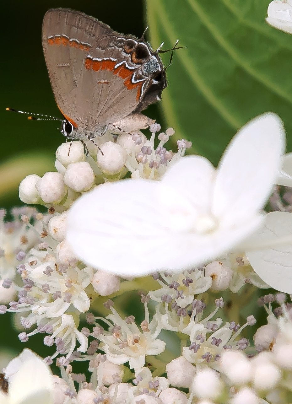 This Red-banded Hairstreak butterfly finds this Chantilly Lace hydrangea to be the perfect spot for a feast.