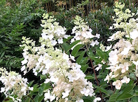 Chantilly Lace is a hydrangea paniculata variety with both sterile and fertile flowers. It grows to 5 to 6 feet in height.