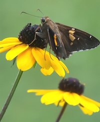 A silver-spotted skipper perches atop a rudbeckia triloba. The brown-centered coned-flowers have petals of yellow-orange that are produced in abundance from late summer into fall. Some references suggest it's biennial, or a short-lived perennial, while others call it a perennial that reseeds.