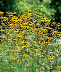 The native brown-eyed Susan was chosen as a Georgia Gold Medal Winner 20 years ago in 1997. At the University of Georgia's Coastal Georgia Botanical Gardens, they grow shoulder high in most locations and are partnered with salvias, old fashion summer phlox and the native spotted monarda. This combination attracts a crowd of pollinators.