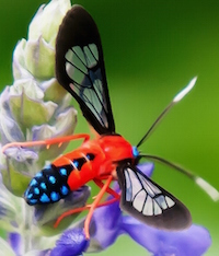 The scarlet-bodied wasp moth looks like it could bite, sting or would be poisonous, but its appearance is its defense mechanism.
