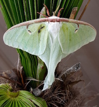 The luna moth is native to a wide area of the eastern half of the United States. Oddly, the adults do not eat. They live about a week and their sole purpose is to mate.