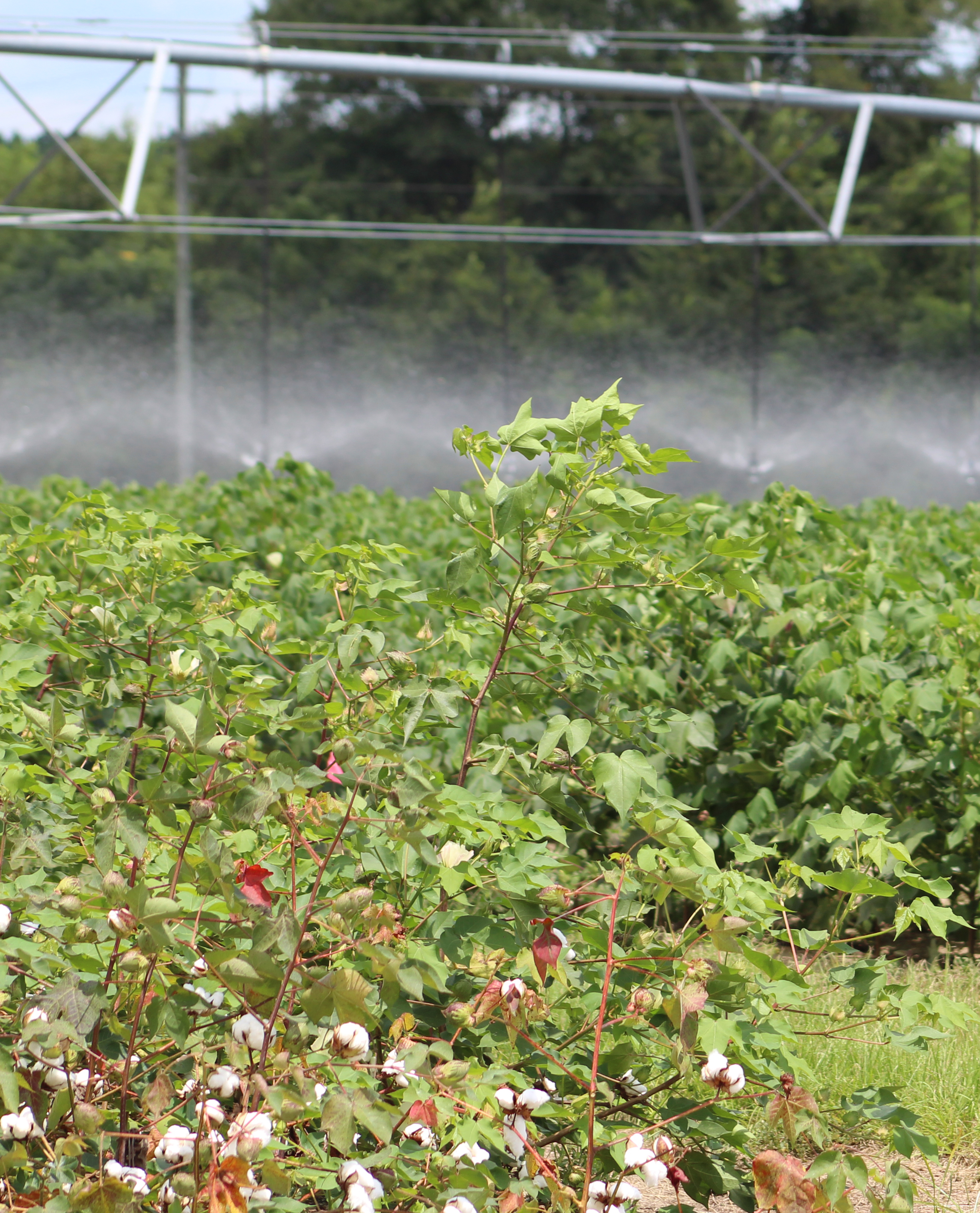 Cotton growing at the Lang Farm on the UGA Tifton campus.