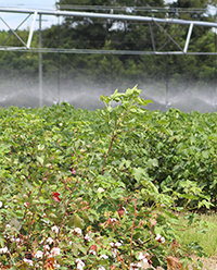 Based on UGA's projections, soybeans, cotton and peanuts offer growers more return above variable cost per acre for both irrigated and nonirrigated farmland.