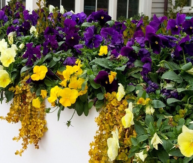 Cool Wave Lemon Surprise and Cool Wave Pin It petunias start to tumble against a backdrop of traditional taller purple pansies.