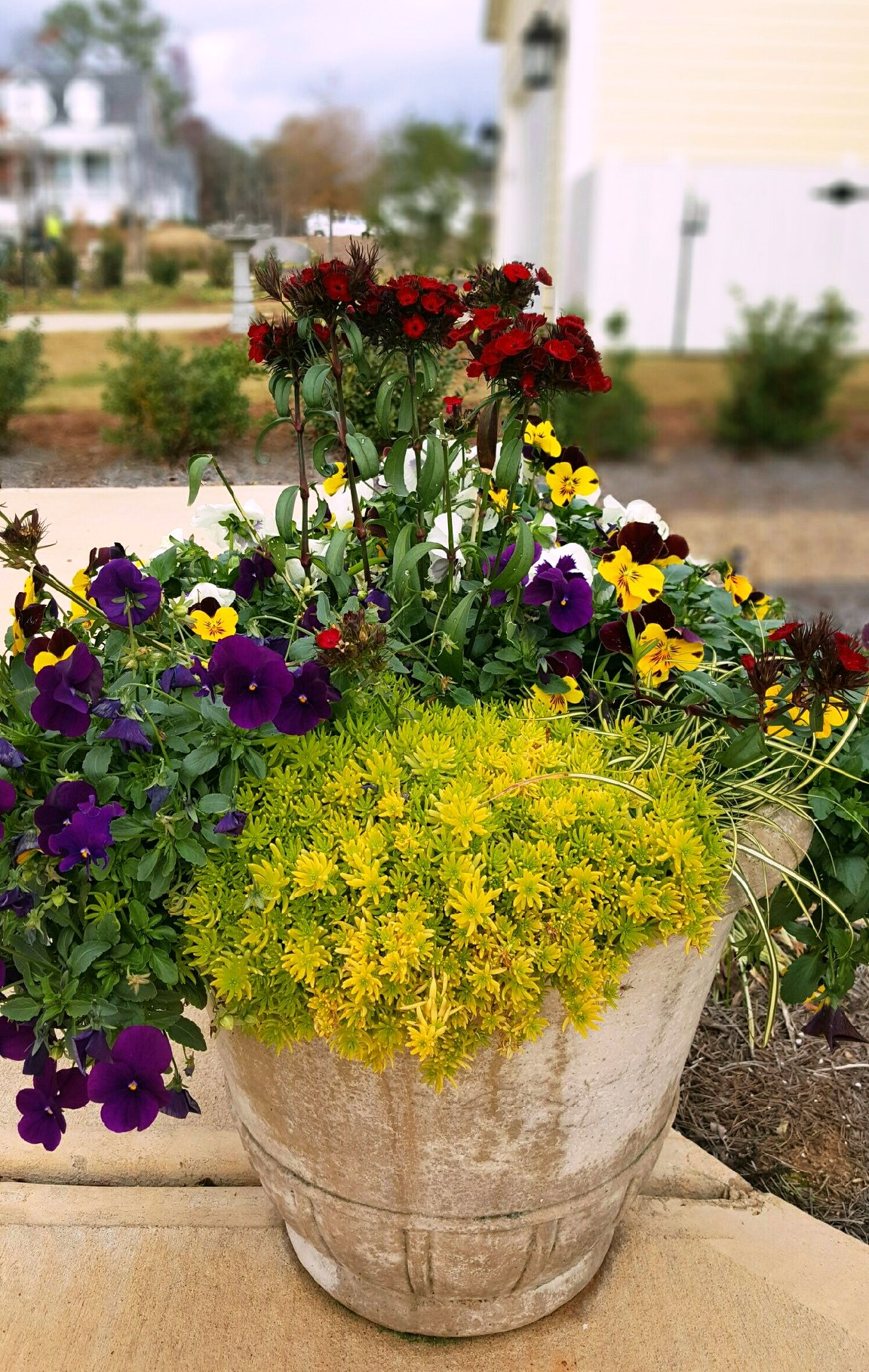 Cool Wave Purple Improved and Cool Wave Sunshine 'N Wine pansies sizzle in this container with Lemon Ball sedum and Dash dianthus.