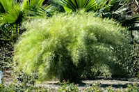 Bamboo Muhly Grass
