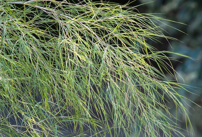 Bamboo Muhly Leaves