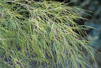 Bamboo muhly leaves are thread-like and will sway or dance with perpetual motion given the slightest breeze.