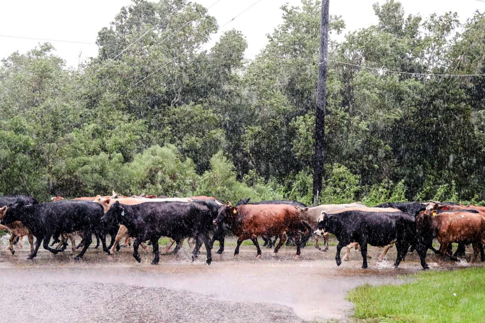 Displaced cattle seek higher ground during Hurricane Harvey in Brazoria County, Texas. Livestock will seek higher ground during flooding, but unfortunately, farmers can't relocate their crops.