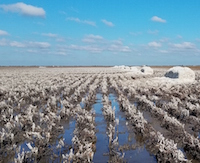 Flooding and high winds represented a one-two punch by Hurricane Harvey to coastal cotton producers in Texas. Producers likely face losses of harvested and unharvested cotton, lower quality grades, seed sprout and other post-hurricane problems. Georgia growers are braced for the damage Hurricane Irma may inflict on their crops.