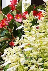 'Vista White' salvia provides high contrast and complements other flowers.