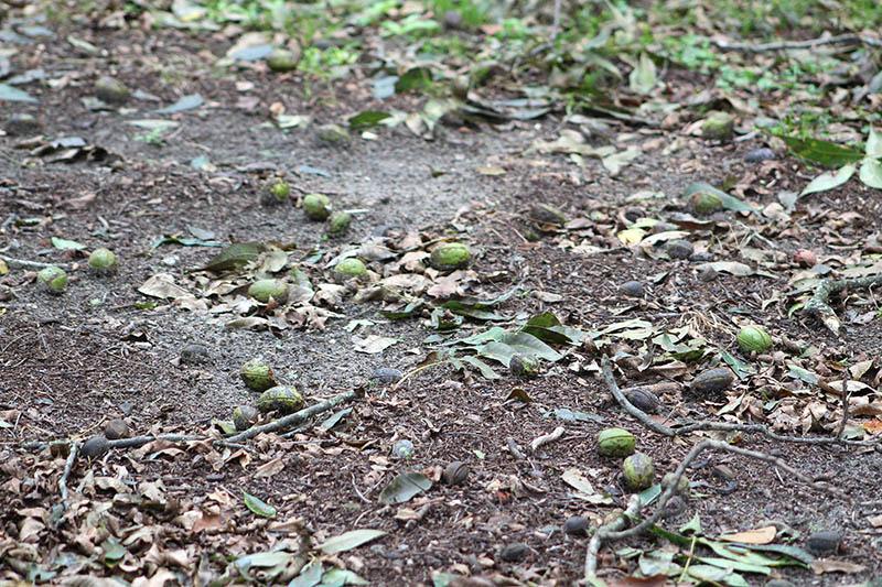 Irma pecan damage