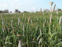 Millet field