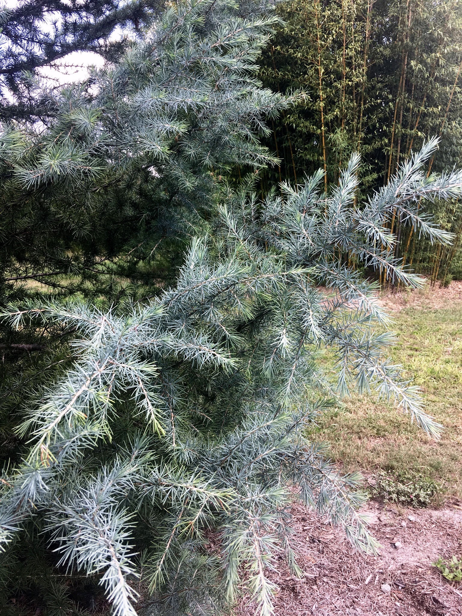 The 'Patti Faye' deodar cedar has steel blue foliage or needles.