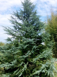 Deodar cedars are among the trees that make excellent Christmas trees that can later be added to the landscape. When bringing an evergreen indoors, locate it in a cool location, keep it away from heat sources and use a limited numbers of miniature tree lights. Provide the tree as much natural light as possible.