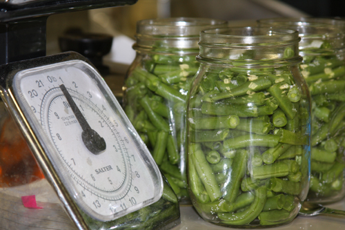 Canning green beans. Beans in Jars waiting to be placed in a pressure canner. May 2008.