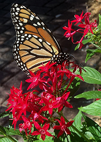This monarch butterfly finds the Graffiti Red Lace pentad to be a tasty nectar treat.