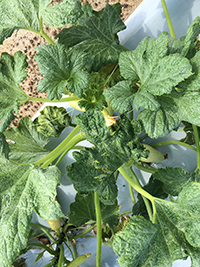 Whiteflies cause feeding injury issues in vegetables and transmit two new viruses: cucurbit leaf crumple virus and cucurbit yellow stunting disorder virus. Vegetables like squash, zucchini, cucumber, cantaloupe and snap beans are highly susceptible to these viruses. Commercial cultivars that have resistance or tolerance to these pathogens are not available.