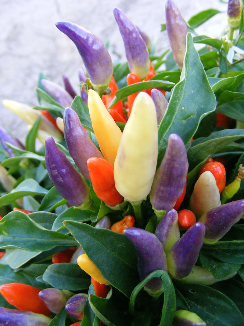 'NuMex Easter' ornamental peppers won the All-America Selections award for its outstanding performance.