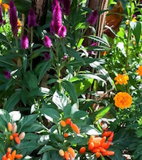 'NuMex Easter' peppers, 'Intenz' celosia and 'Hot Pak' marigolds combine with bloodleaf banana to create a festive tropical look in this large mixed container.