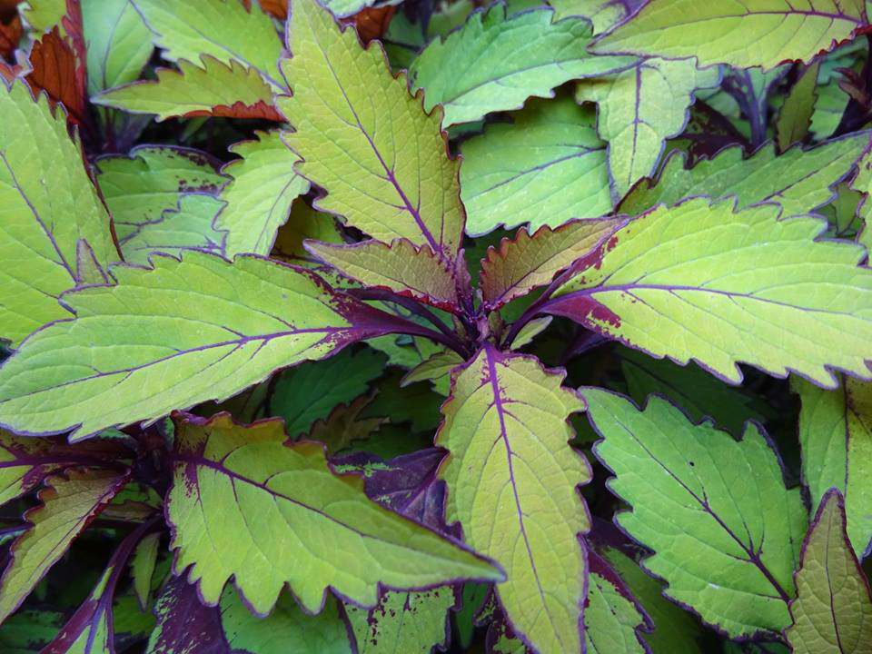 This colorful, leafy coleus looked stunning well into September and October. The leaves are serrated with purple outlines, and the underside and veins of the plant are also bright purple, which offers a beautiful contrast to the lime green leaves.