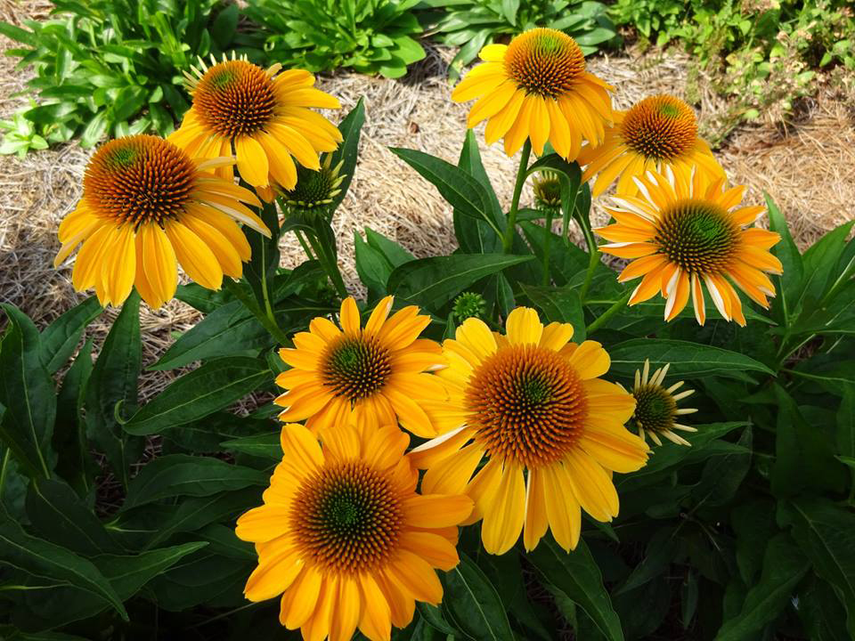 Of the three Sombrero varieties planted last spring, which were all good performers, 'Granada Gold' took the cake. The flawless golden flowers bloomed profusely with a beautiful floral presentation and lasted longer than the other two.