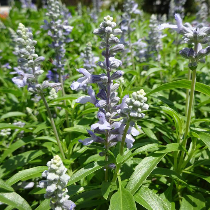 This light-blue salvia is a lower-growing variety and gets to be about 12 to 18 inches tall, according to the breeder's website. 'Sky Blue' stayed in bloom from May to September, an impressive span of time for any flowering plant.
