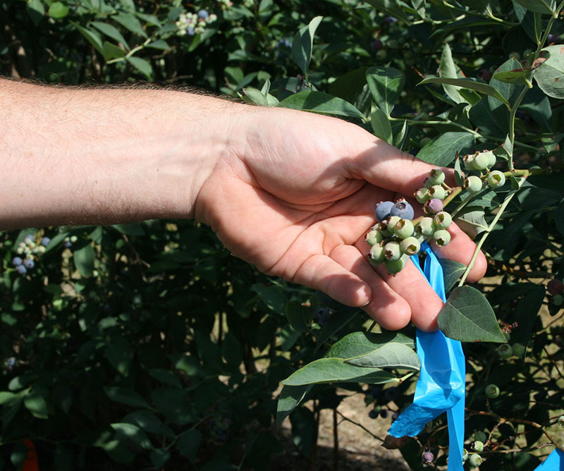 Blueberries growing on the Alapaha farm in Alapaha, Georgia in this file photo. Blueberry farmers are wary of a late season freeze and its impact on this year's crop.