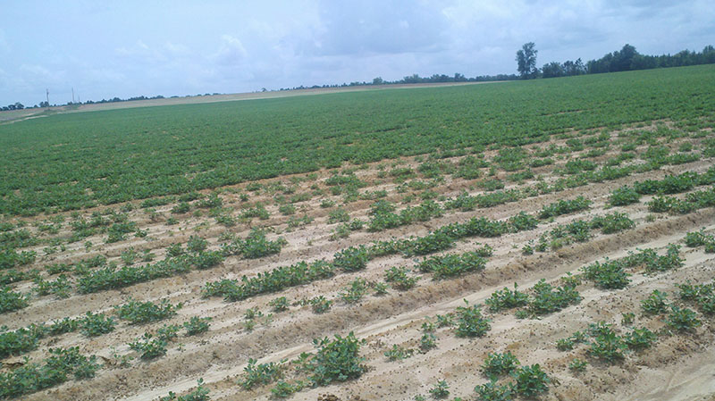 In the foreground of the peanut field, crown rot leaves considerable damage, compared to a good stand of peanuts with clean seed.