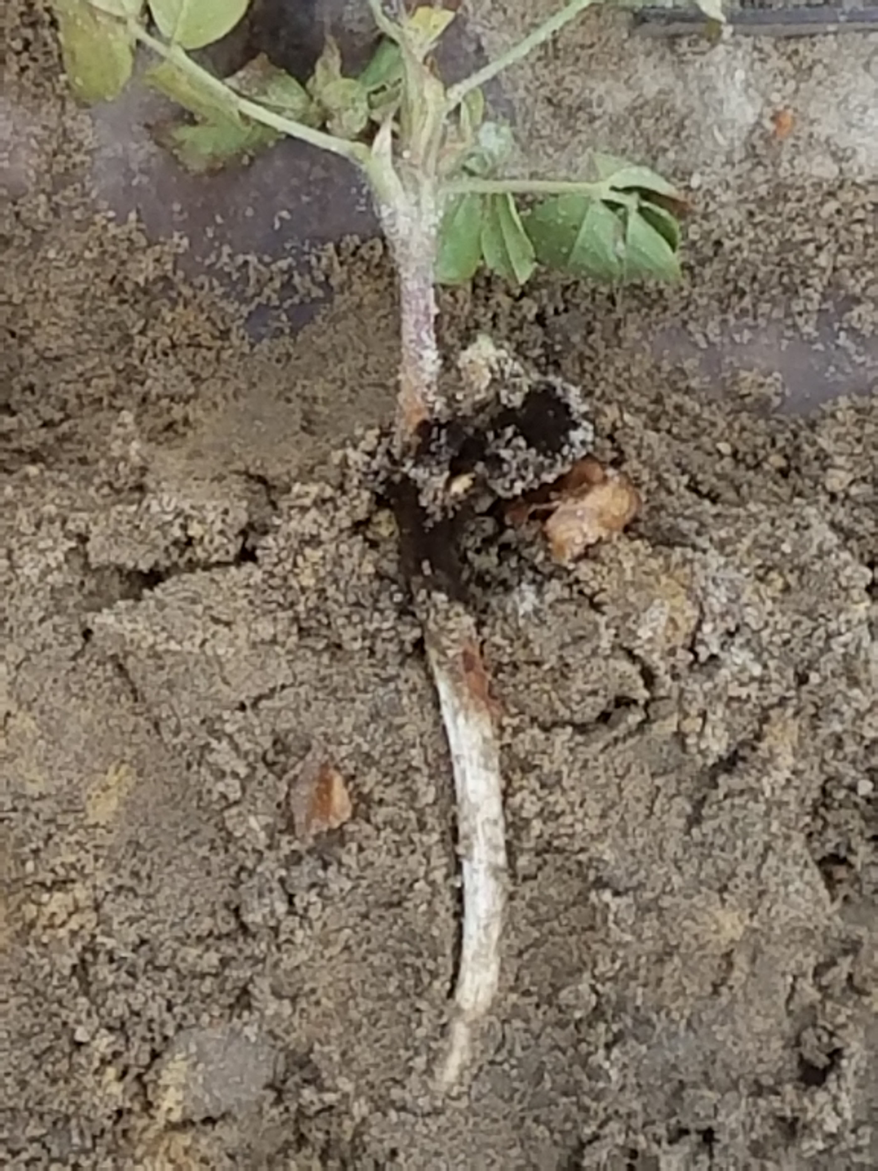 Aspergillus crown rot can be housed in the seed itself and grow into the hypocotyl, the portion of the plant found just below the soil line. The fungus can quickly destroy this tissue.