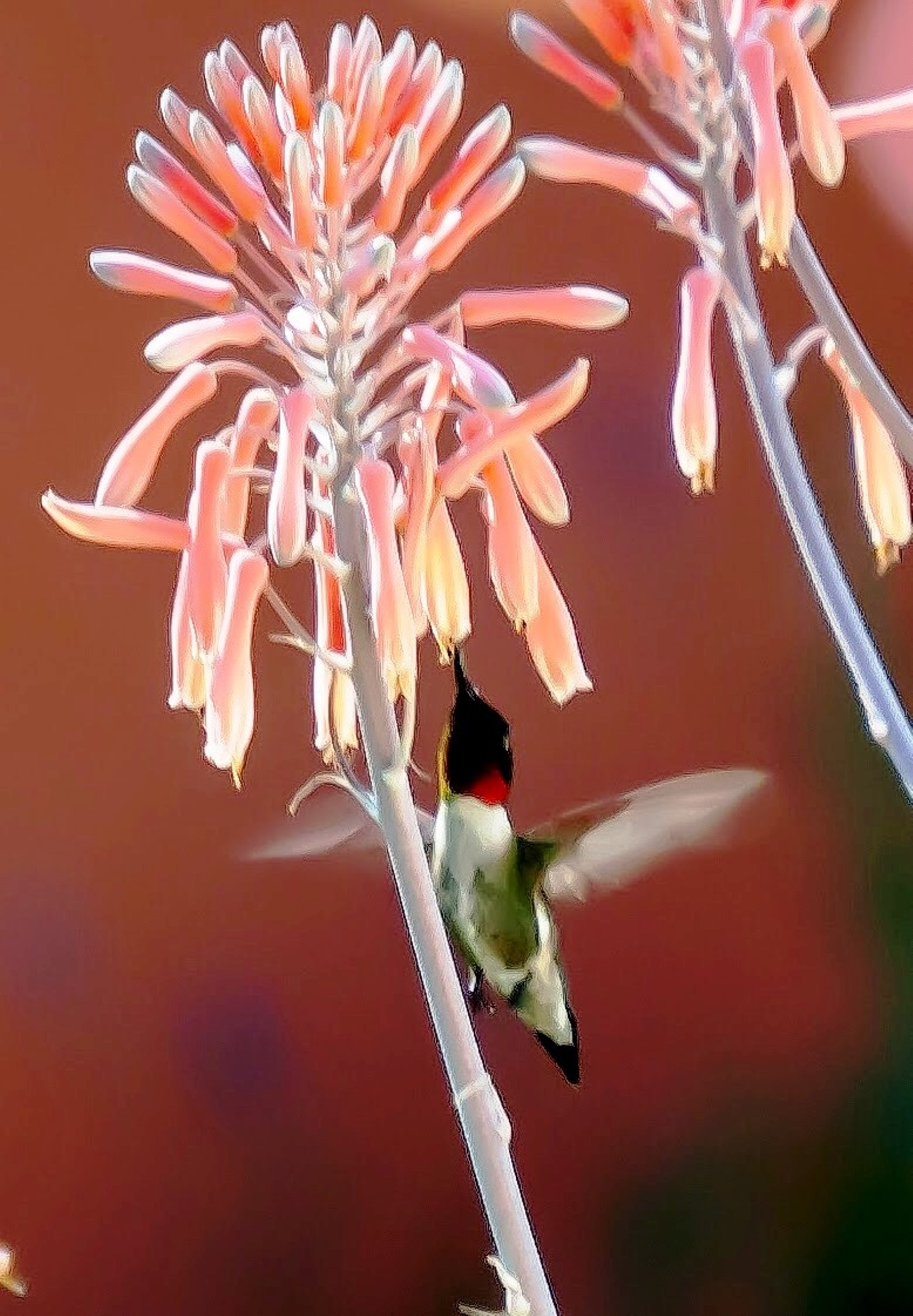 A male ruby-throated hummingbird enjoys the flowers of a soap aloe.