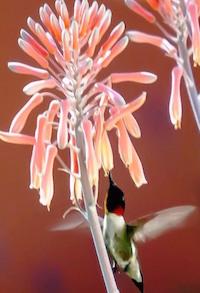 A male ruby-throated hummingbird enjoys the flowers of a soap aloe.