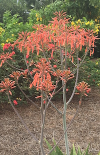 The flower stalks of the soap aloe plant can grow to be 24 to 36 inches tall.