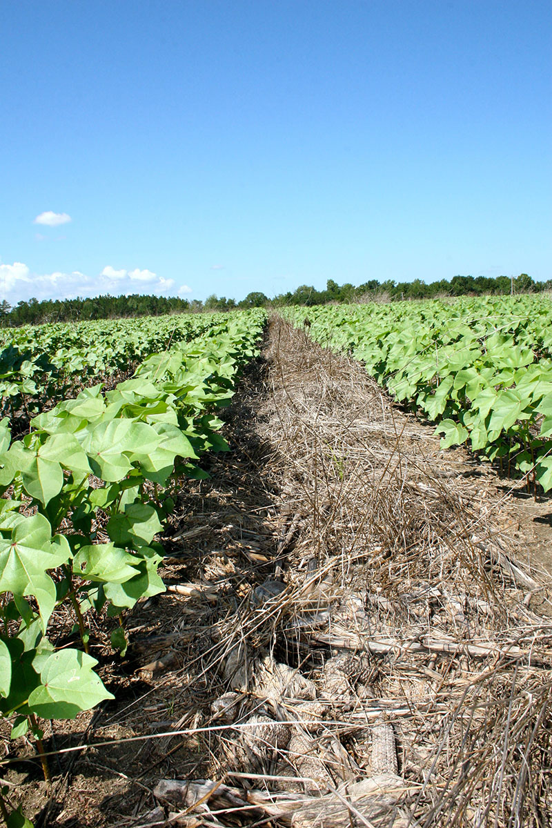 A conservation tillage system begins with a cover crop that's planted during fallow times of the year, such as late fall and early winter when row crops have been harvested. Pictured is corn and rye residue, part of a conservation tillage system on Barry Martin's farm in Hawkinsville, Georgia.