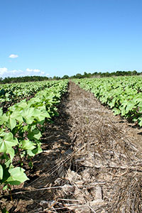 A conservation tillage system begins with a cover crop that's planted during the fallow times of the year, such as late fall and early winter when row crops have been harvested. Pictured is corn and rye residue, part of a conservation tillage system on Barry Martin's farm in Hawkinsville, Georgia.