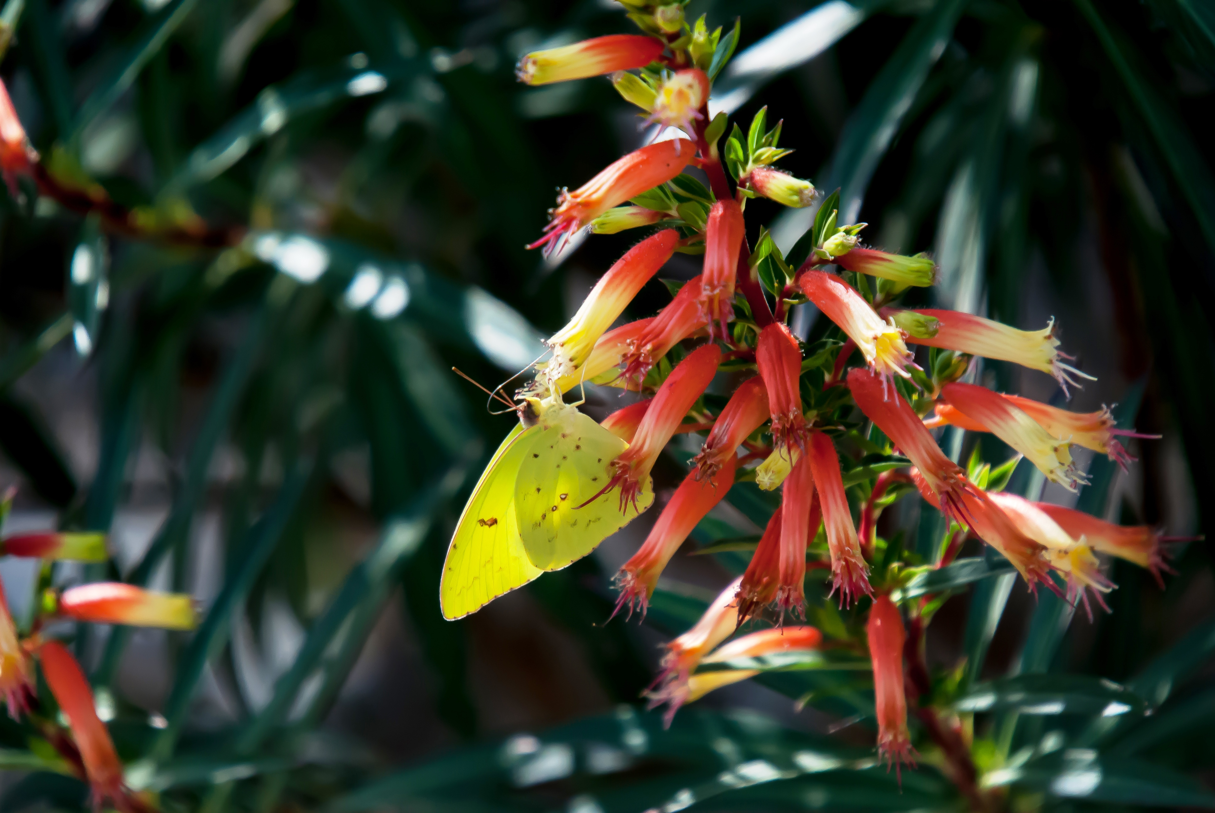 'Candy Corn' cuphea works well with other hummingbird plants, like firebush and 'Gold Star' esperanza.