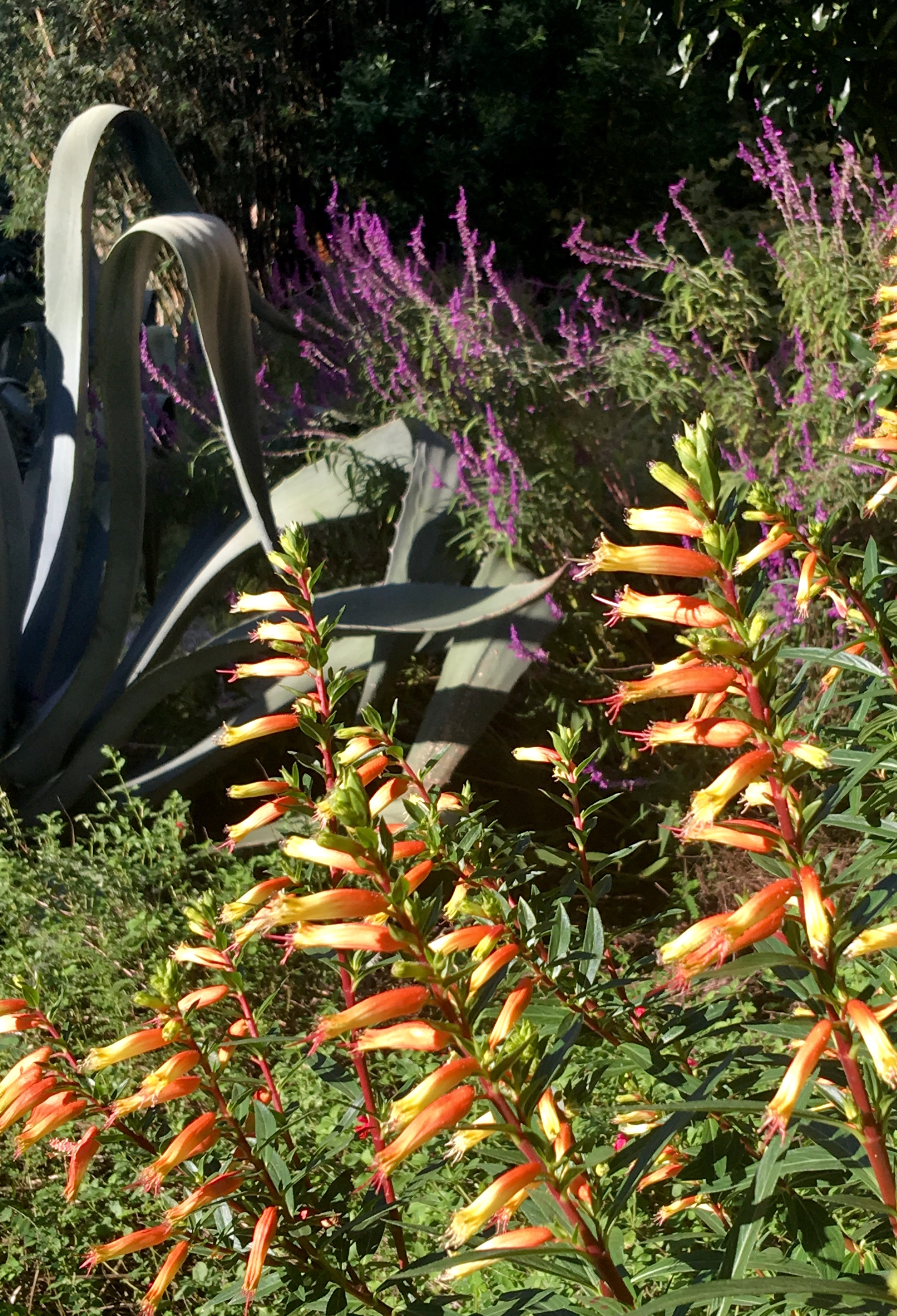 """Botanically speaking, the 'Candy Corn' cuphea, also called """"Mexican giant cigar plant,"""" is known as """"Cuphea micropetala."""" It is native to Mexico and, with good winter drainage, offers more cold hardiness than many realize."""