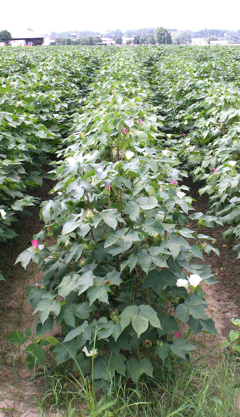 Cotton on the UGA Tifton campus in this 2013 file photo.