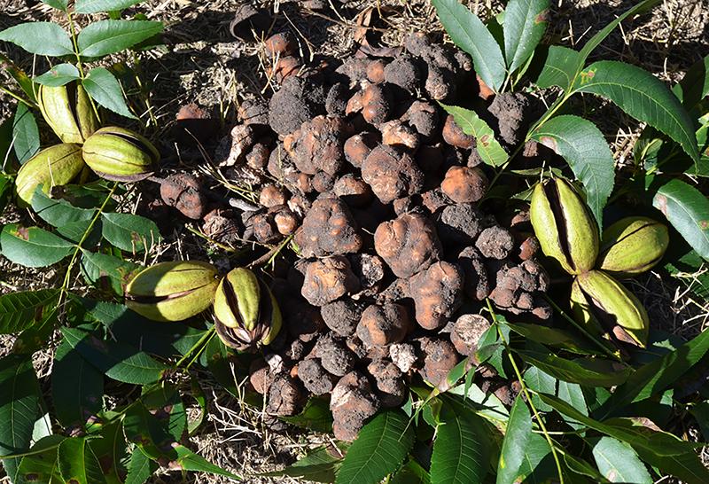Group of truffles.