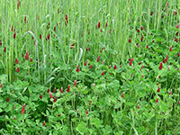 Crimson clover and rye grow together to form a cover crop in a research plot on the University of Georgia Mountain Research and Education Center in Blairsville, Georgia.