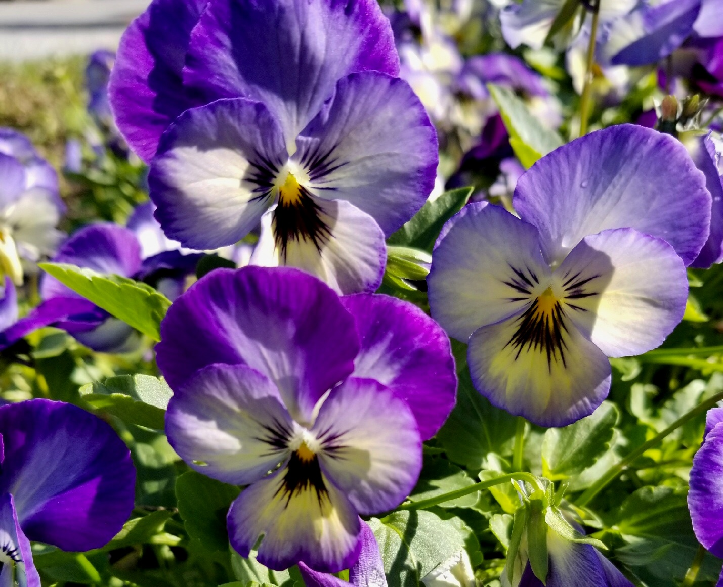 ColorMax comes in 10 colors and a mix. 'Icy Blue,' (shown) 'Popcorn' and 'Lemon Splash' are must-have plants for cool-season landscapes. The plants reach 6 to 8 inches tall with a spread of about 10 inches. ColorMax violas are very cold-tolerant and transplant to the garden with ease.