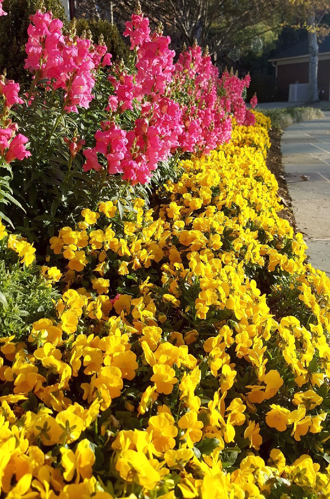 Yellow Colormax violas yield a dazzling number of flowers per square foot. Here they are partnered with Sonnet snapdragons for a colorful cool-season landscape.